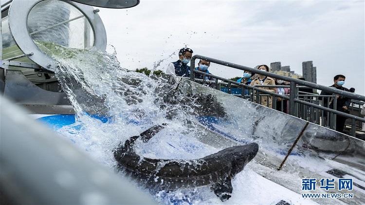 10 nghìn cá tầm gắn định vị thả xuống sông Dương Tử