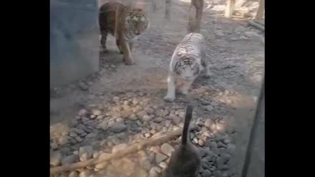 Hổ trắng bỏ chạy khi đối đầu ngỗng