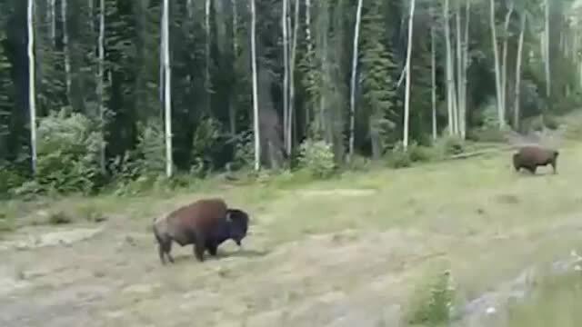 Chó pitbull lao vào bò rừng