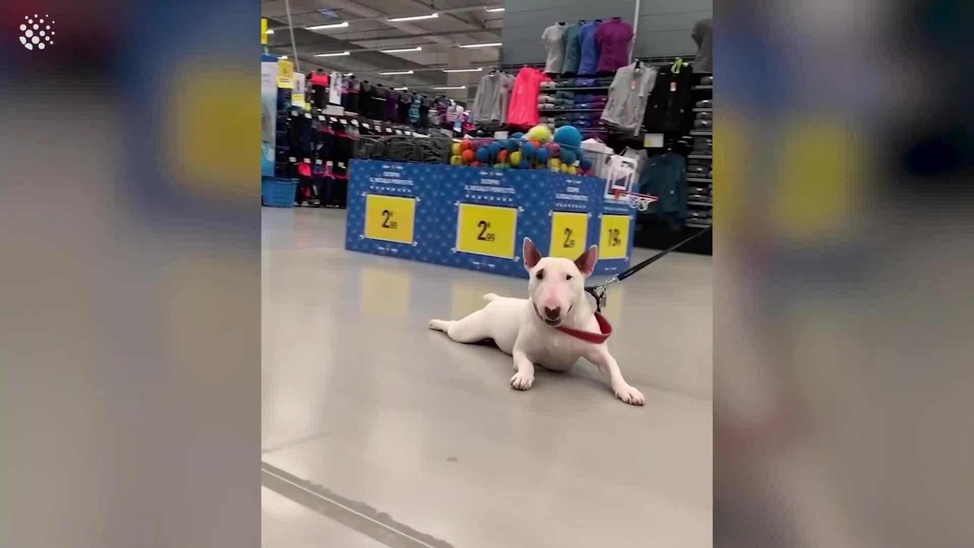 Chú chó lười biếng không chịu đi đâu