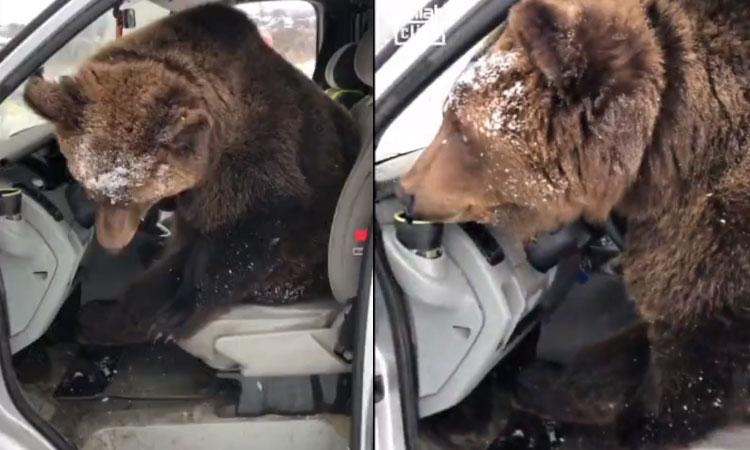 Gấu lên ôtô bấm còi inh ỏi