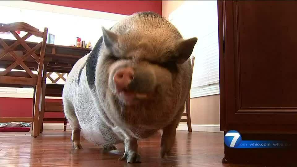 Người phụ nữ gốc Việt ở Mỹ nuôi lợn ỉ làm thú cưng