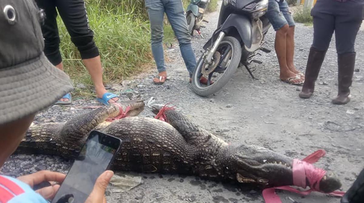 Người dân bắt cá sấu