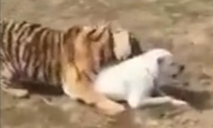 Hổ 'massage' cho chó nhà