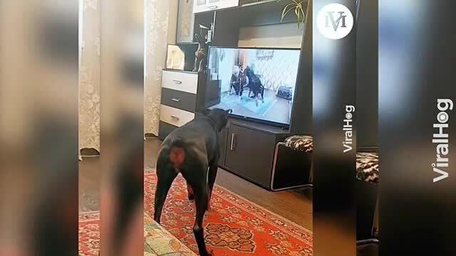 Chó nhà tập thể lực theo hướng dẫn trên tivi