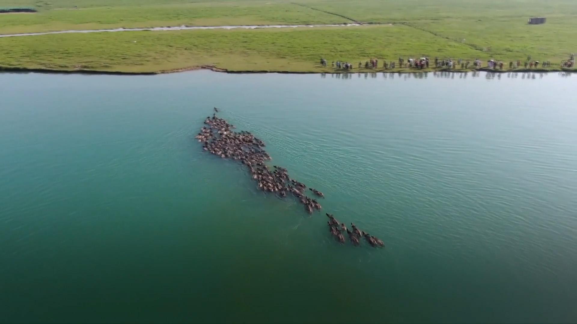 Hàng trăm con trâu nối đuôi nhau bơi qua sông