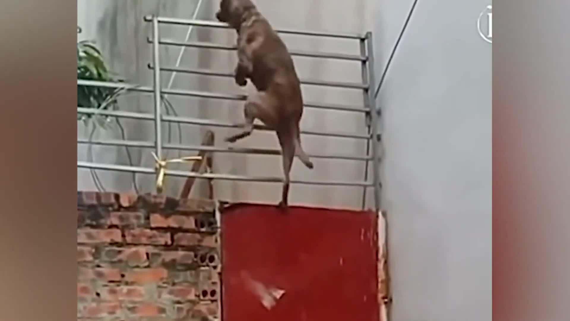 Chó trèo cổng tẩu ra ngoài