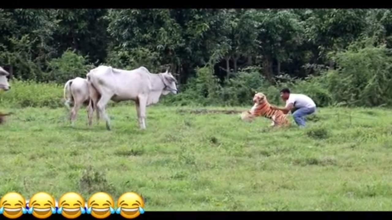 Chạy té khói vì mang hổ giả dọa đàn bò