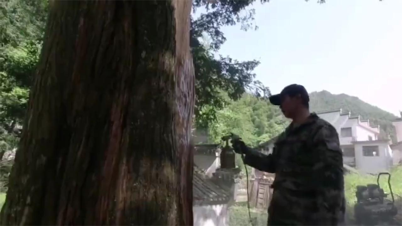 Rừng cây cổ thụ nghìn năm tuổi