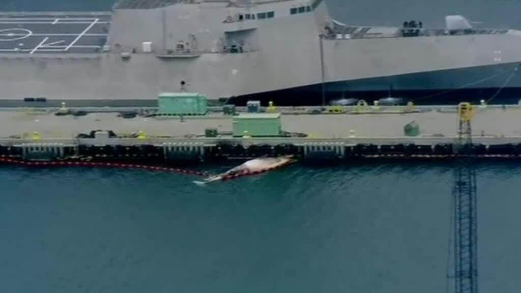 Tàu chiến Australia đâm chết hai cá voi hiếm