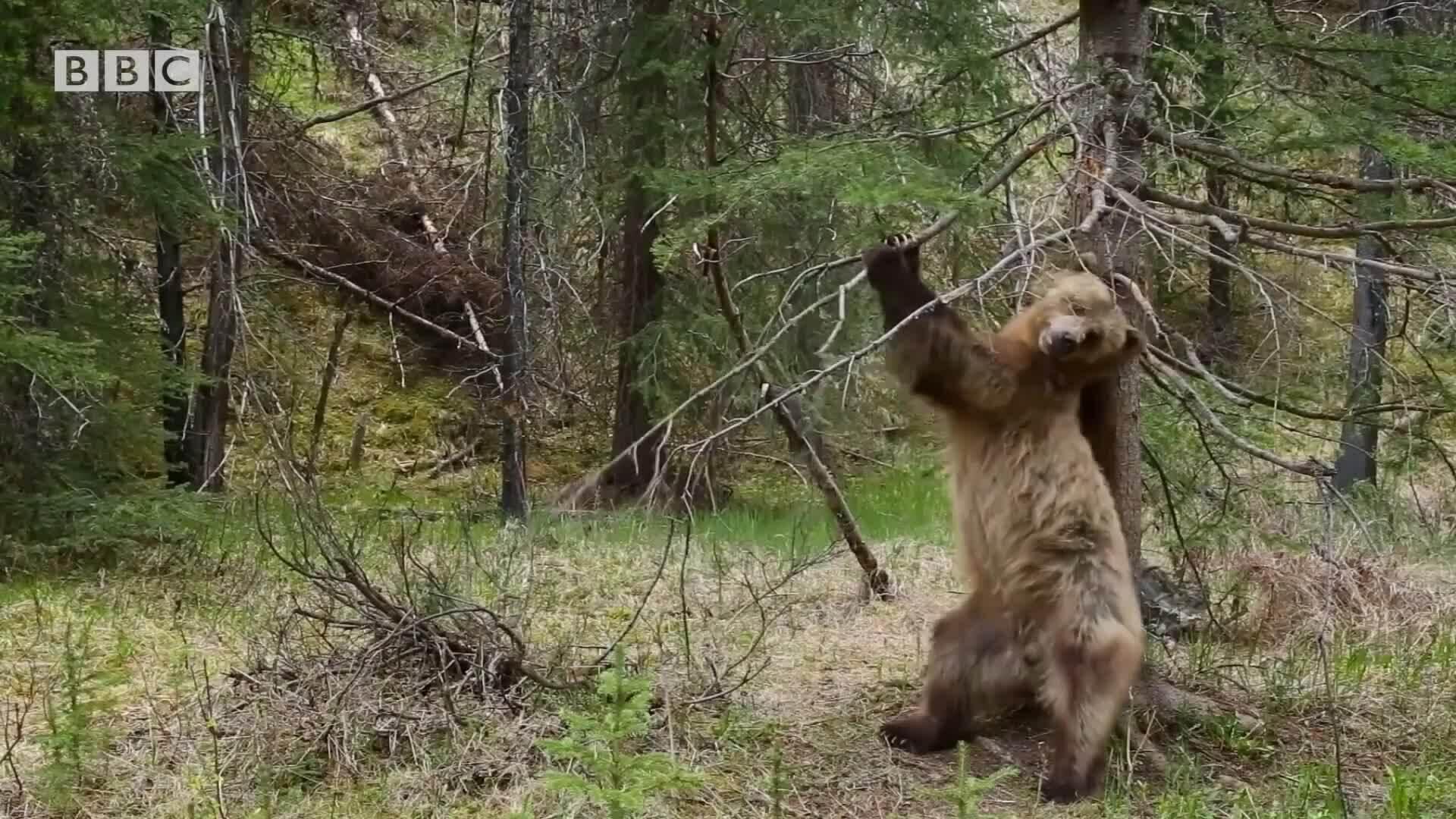 Giải mã hành vi 'múa cột' ở gấu nâu