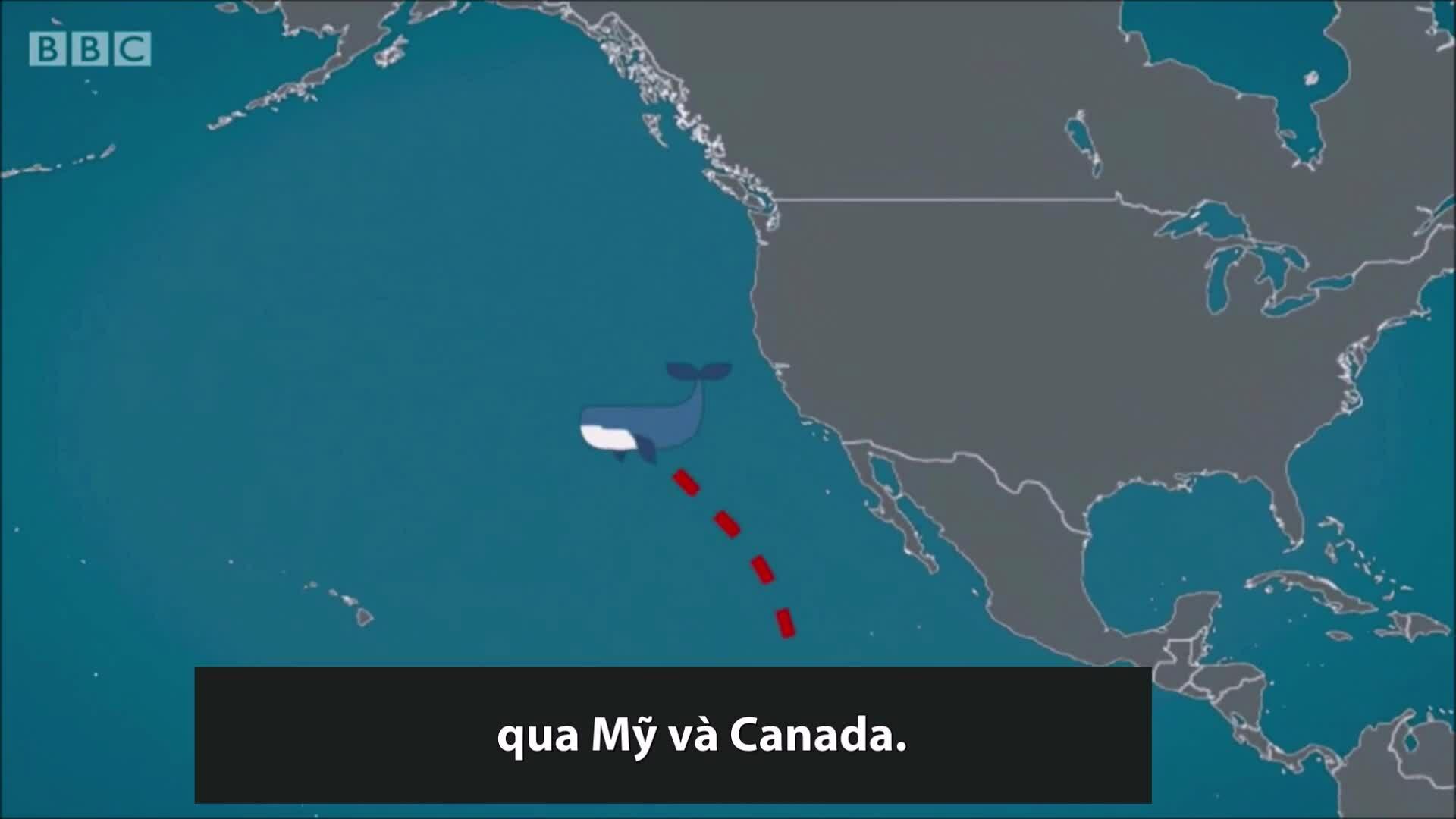 Cá voi xám đi lạc 9.000 km