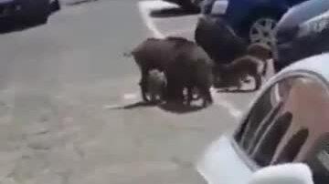 Lợn rừng 'cướp của' giữa bãi đỗ xe ở Italy
