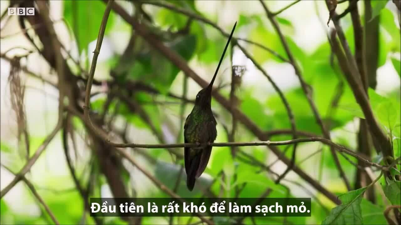 Loài chim mỏ dài nhất thế giới