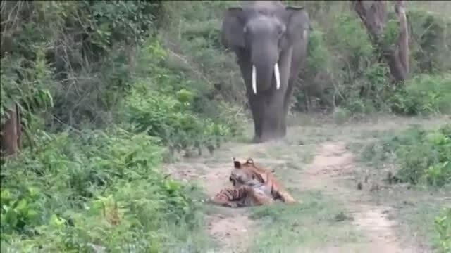 Hổ tránh đường cho voi đi qua