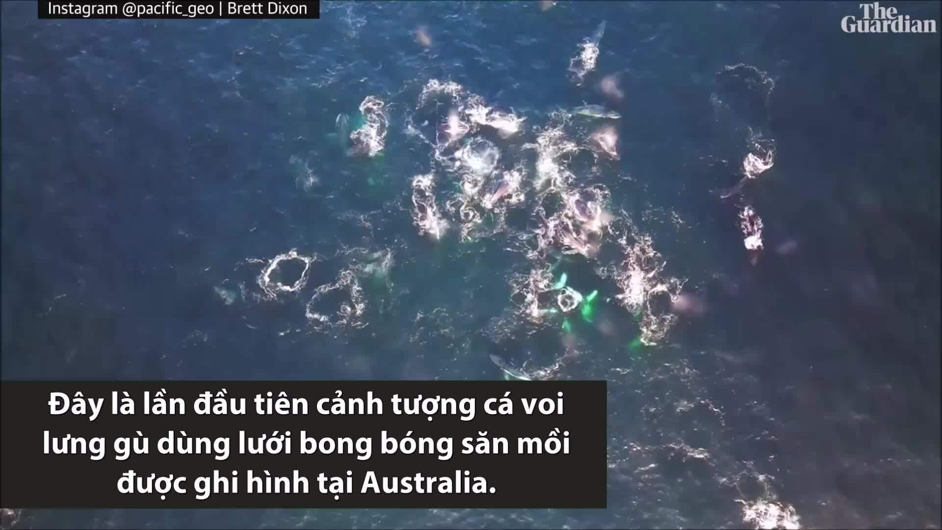 Lần đầu tiên cá voi lưng gù dùng lưới bong bóng ở Australia