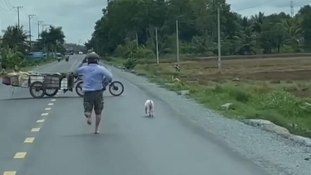 Hụt hơi vì đuổi bắt lợn trên đường