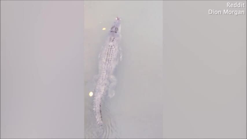 Cá mú nghệ dài 2 m bám theo cá sấu
