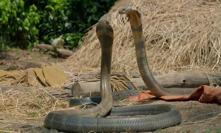 Đôi rắn hổ mang chúa kịch chiến giành rắn cái