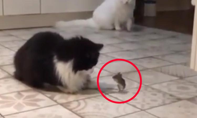 Chuột 'chắp tay' năn nỉ hai con mèo