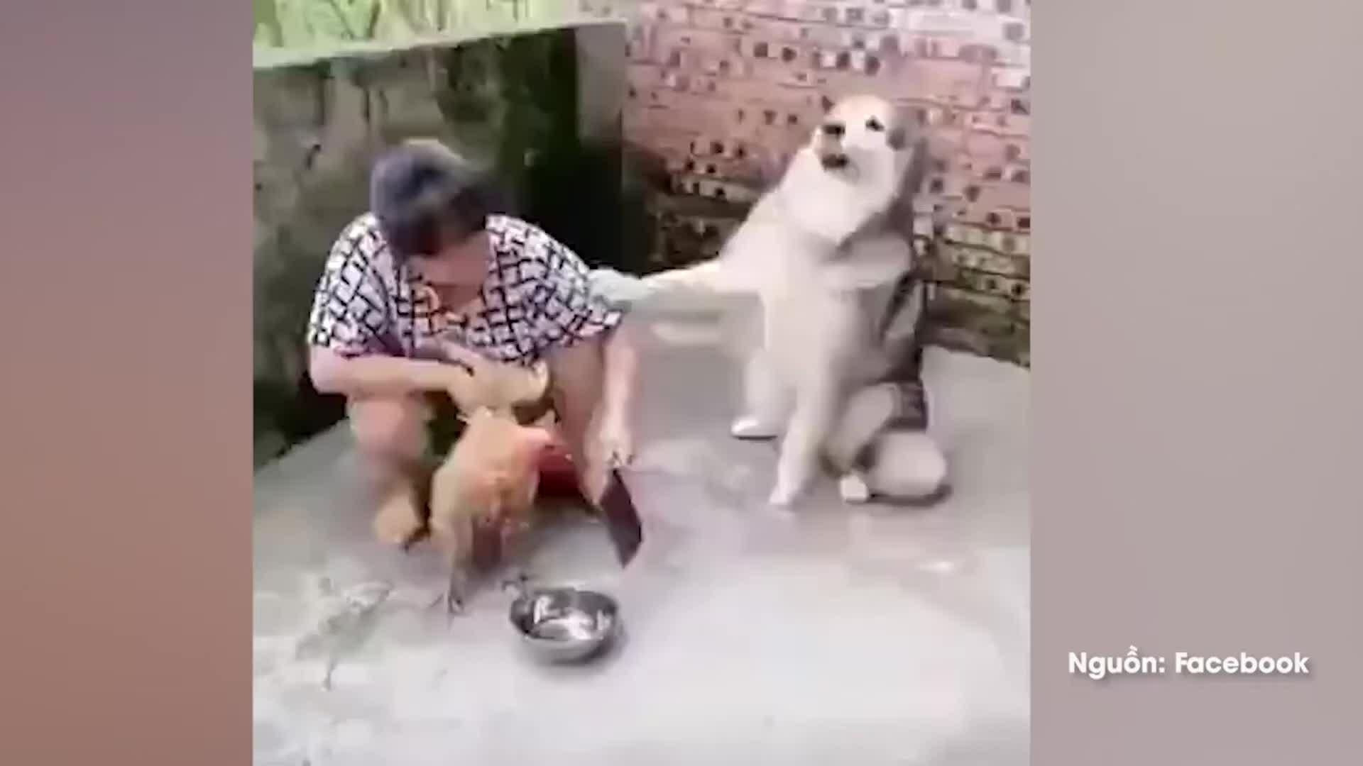 Chó cưng xin bà chủ đừng làm thịt gà