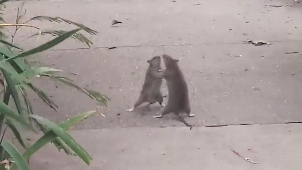 Hai chú chuột so găng giữa đường