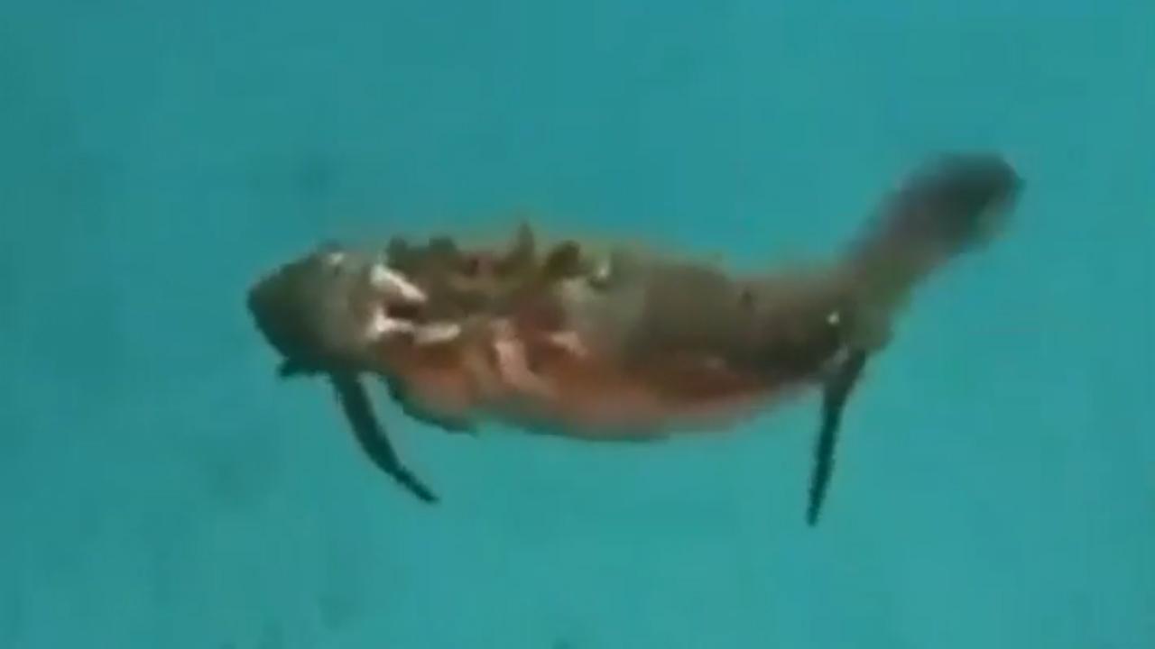Cua bơi thoăn thoắt trong nước