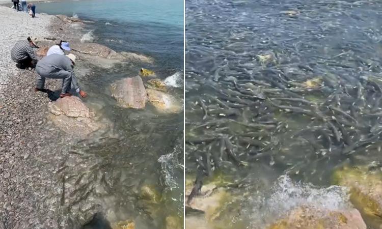 Bắt không xuể khi hàng nghìn con cá bơi vào bờ biển