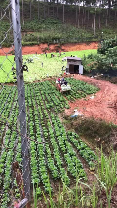 Giáo viên thu hoạch rau ủng hộ Sài Gòn