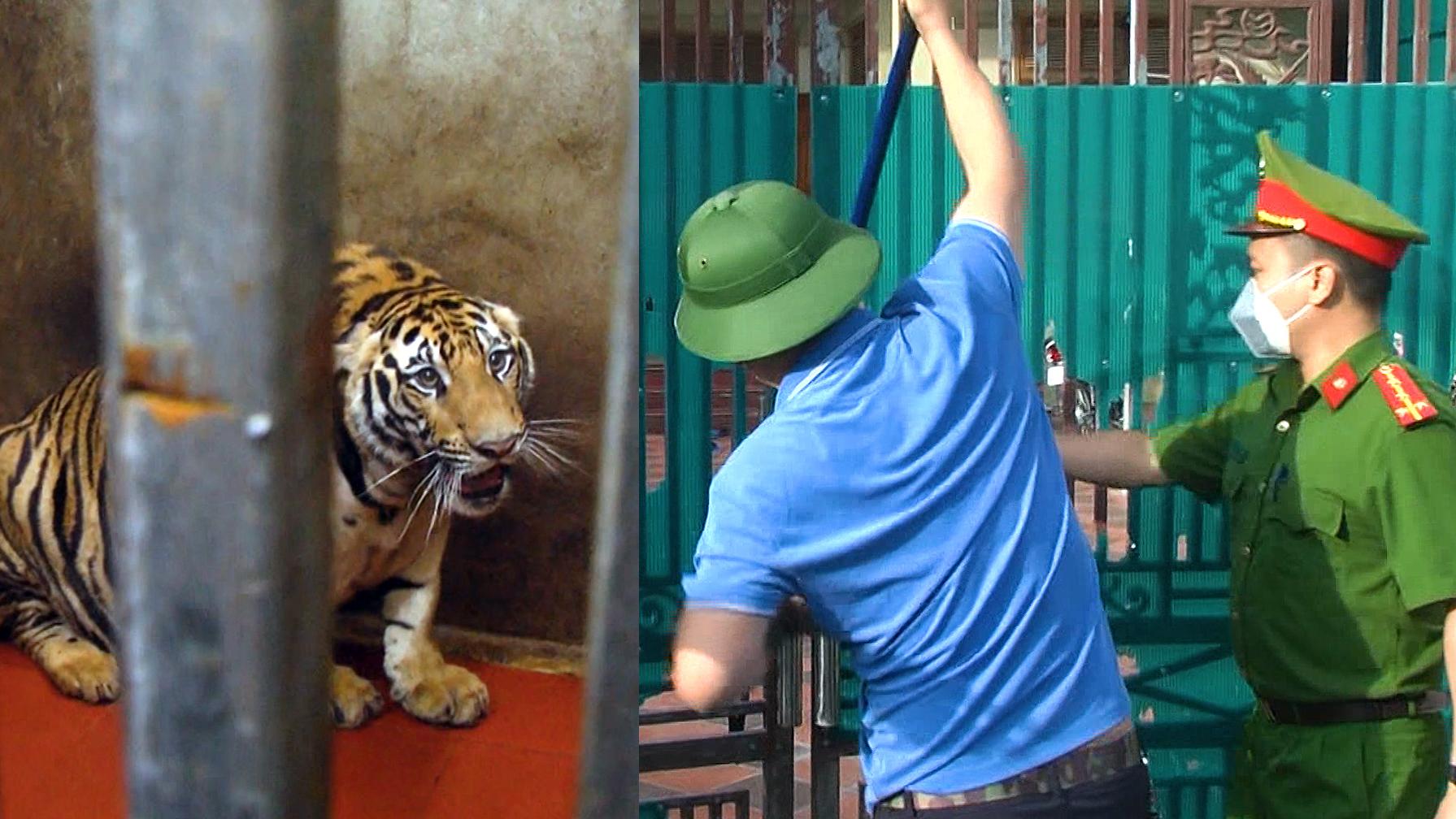 Cảnh sát đột kích hai nhà nuôi nhốt hổ