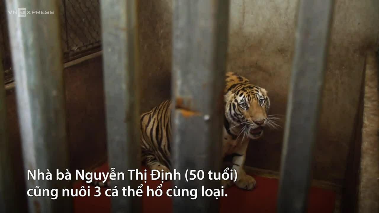 Người nuôi hổ ở Nghệ An đối dối 15 năm tù
