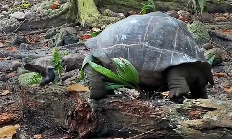 Rùa khổng lồ ngoạm vỡ sọ chim non để ăn thịt