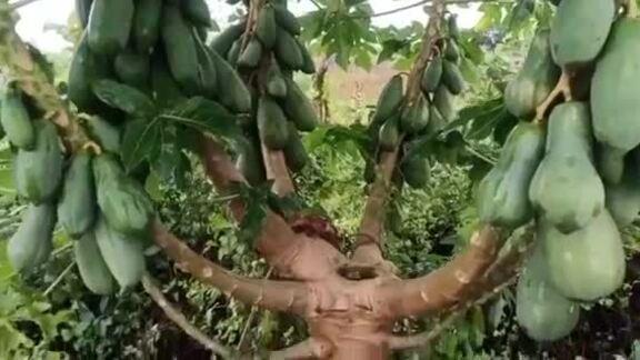 Cây đu đủ bị bão đánh gãy mọc 9 nhánh
