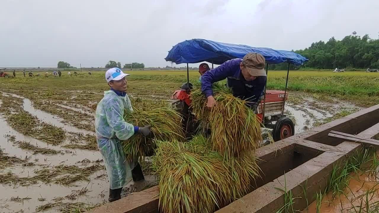 Nông dân đổ ra đồng cứu lúa