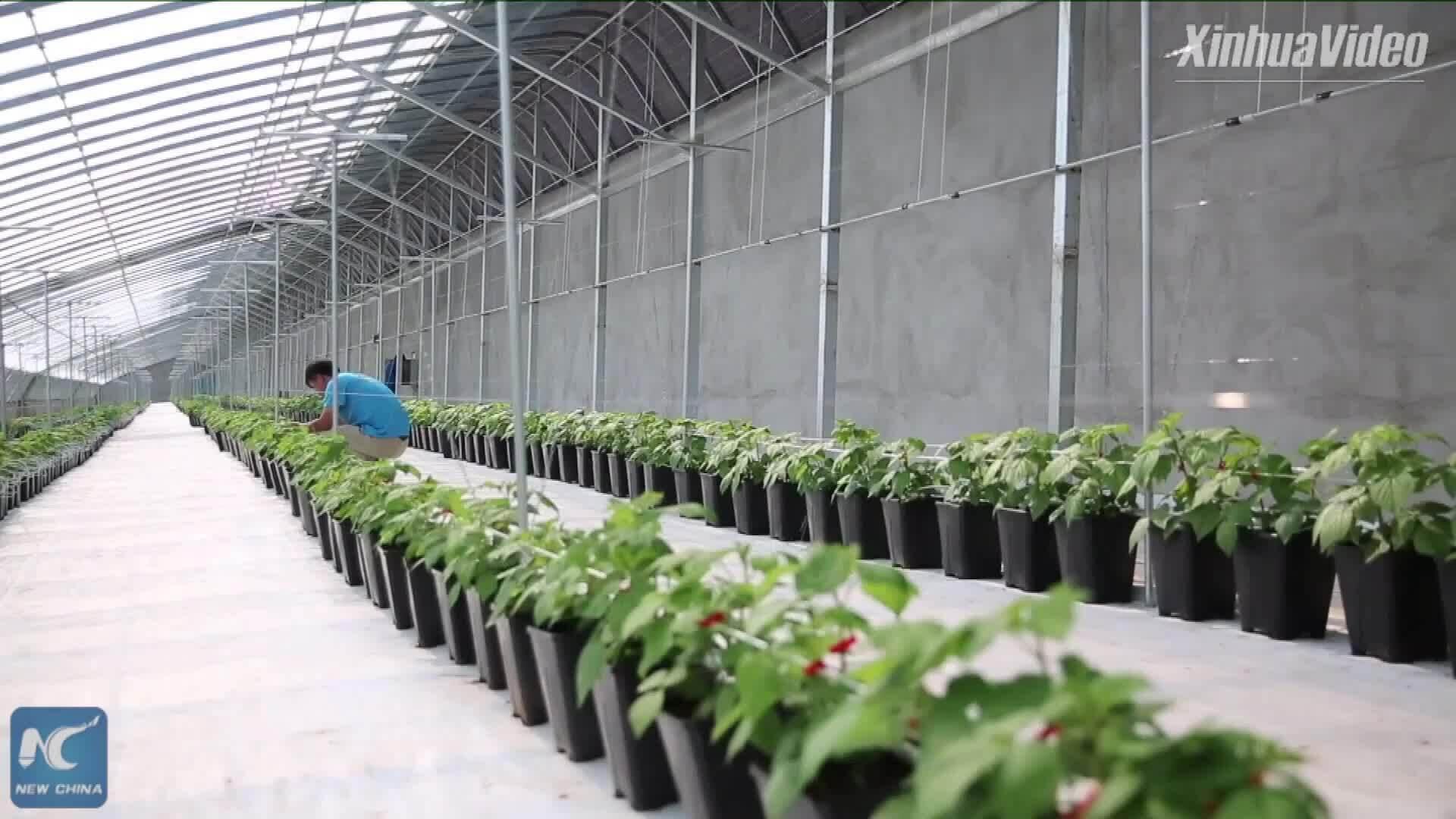 Bên trong nông trại mâm xôi công nghệ cao