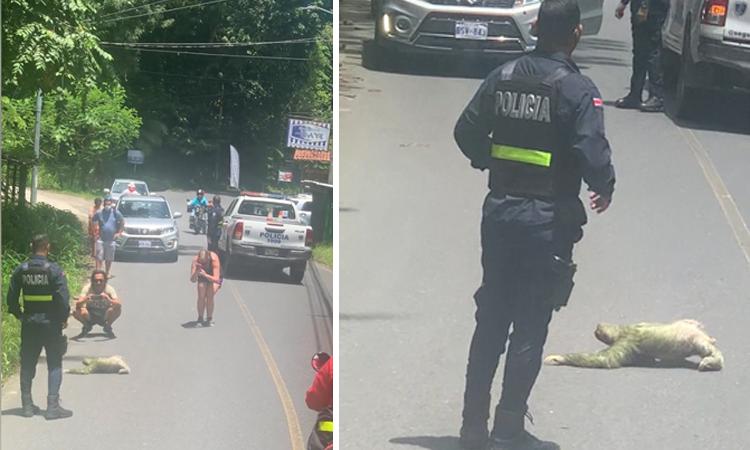 Cảnh sát bảo vệ con lười qua đường