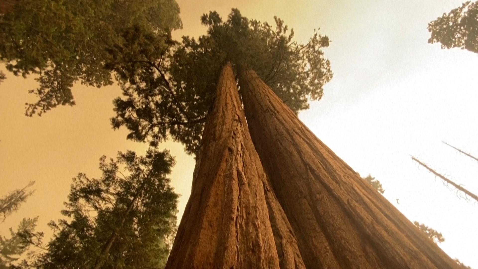 Cháy rừng đe dọa cây lớn nhất thế giới