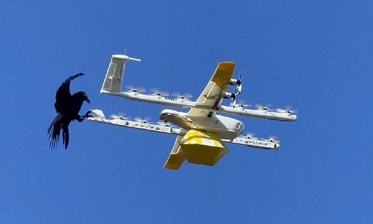Quạ tấn công drone chở cà phê