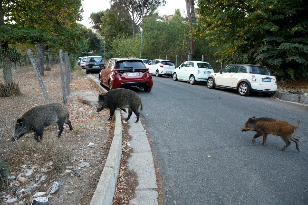 Lợn rừng tràn ngập Rome
