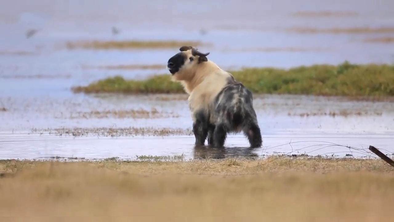 Cảnh quay hiếm về sinh vật nửa giống trâu nửa giống cừu