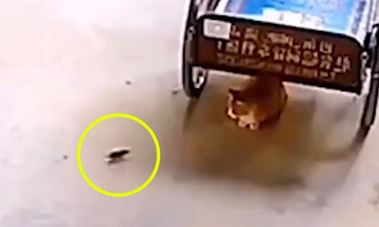 Mèo há miệng chờ chuột chạy đến